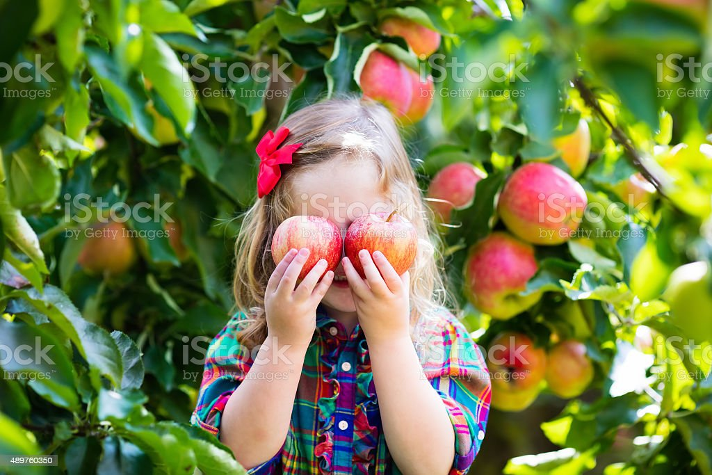 Little girl picking apples from tree in a fruit orchard stock photo