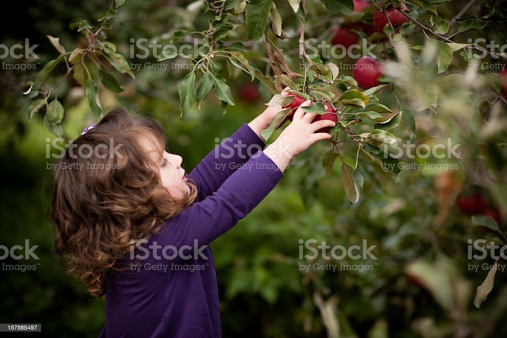 Little Girl Picking Fresh Apples from Tree in Orchard royalty-free stock photo