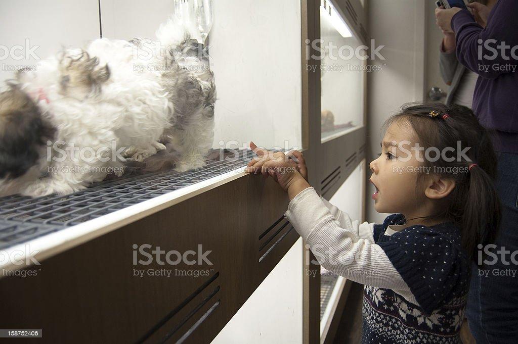 Little girl picks a Shih Tzu puppy at pet shop stock photo