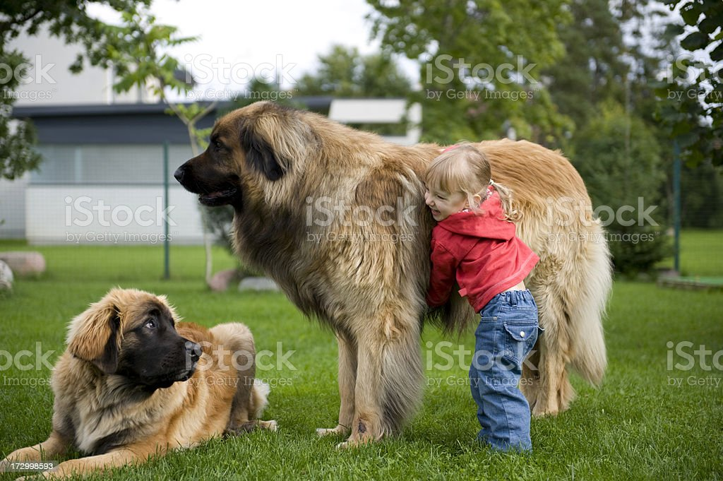 Little girl playing with her pet Leonbergers stock photo
