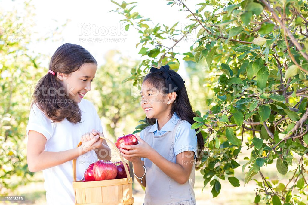 Little girls picking apples during field trip at fruit orchard stock photo