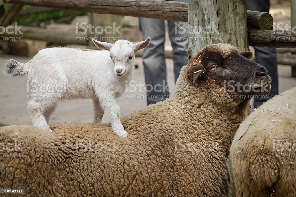 Piccolo Cucciolo di capre e pecore foto stock royalty-free