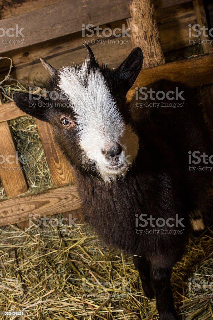 little cabra in the manger foto de stock libre de derechos