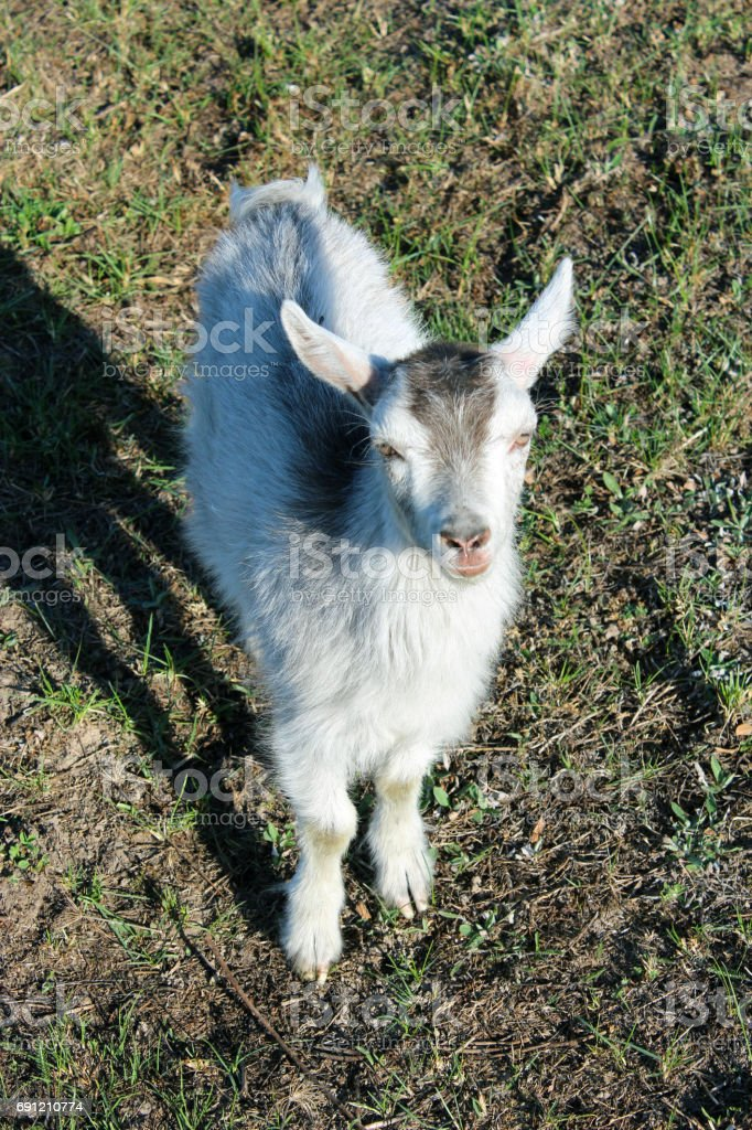 little goat on the pasture stock photo