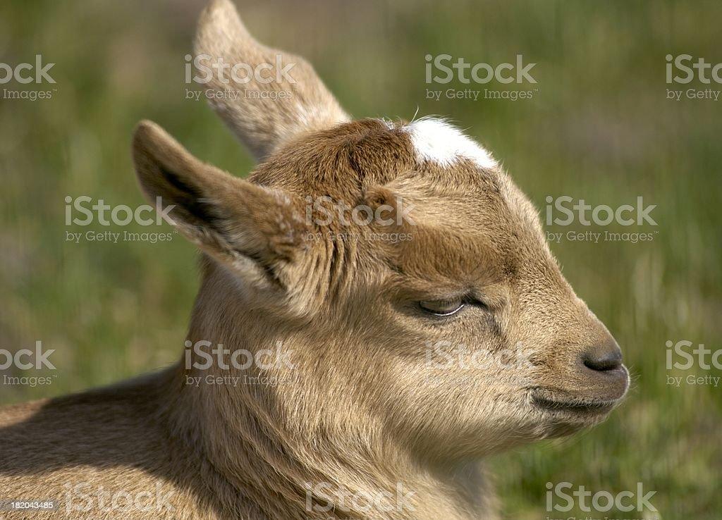 Little goat royalty-free stock photo