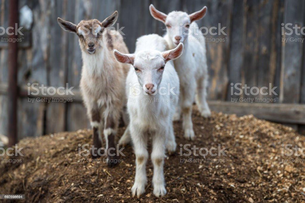Little goats in the farmyard stock photo