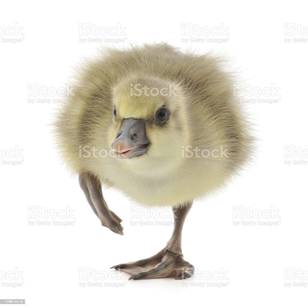 little gosling isolated stock photo
