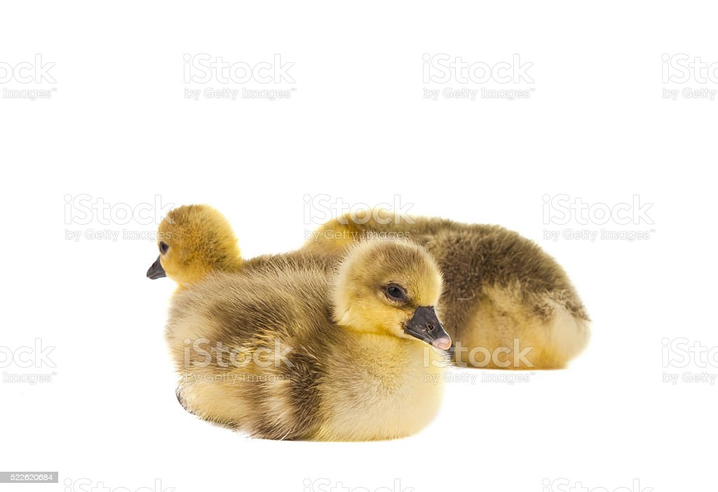 little gosling isolated stock photo