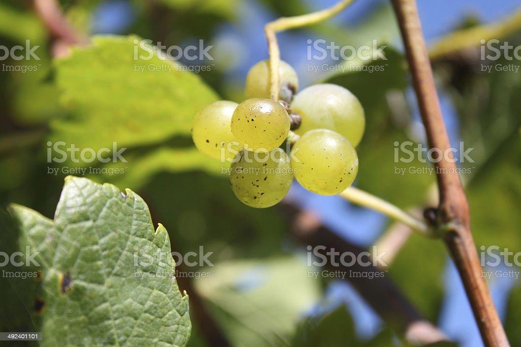 Little grape royalty-free stock photo