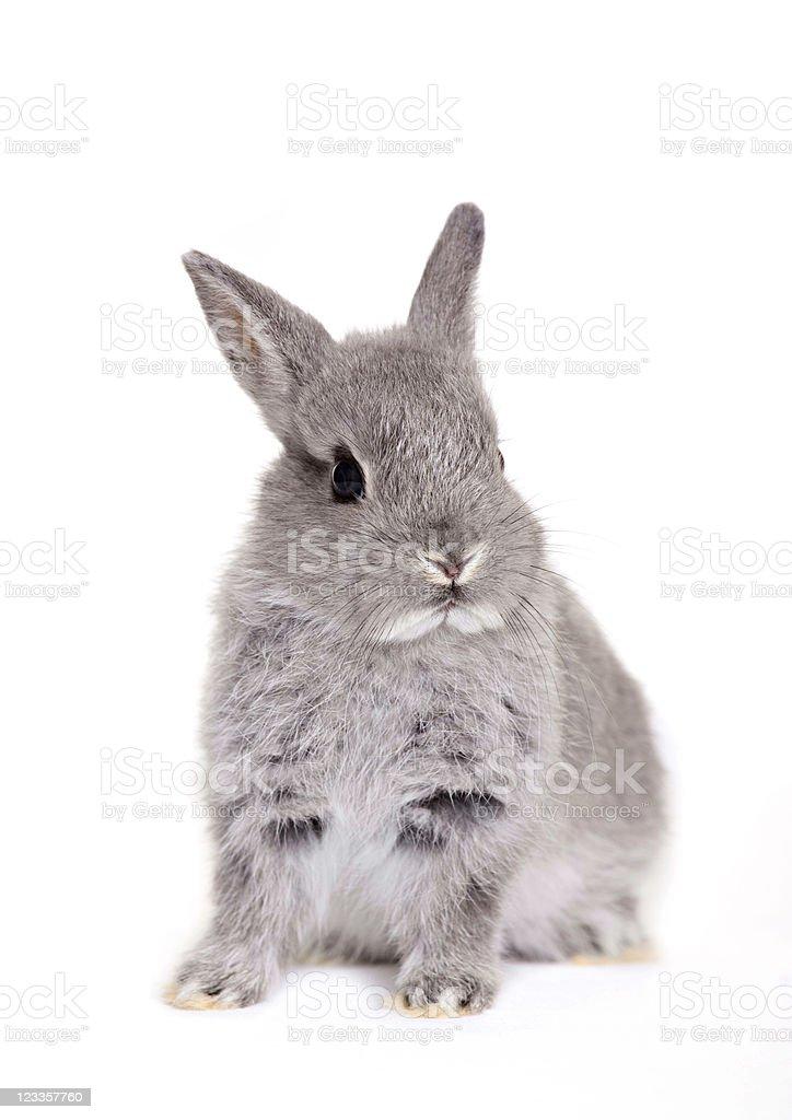 Little gray baby bunny, rabbit royalty-free stock photo
