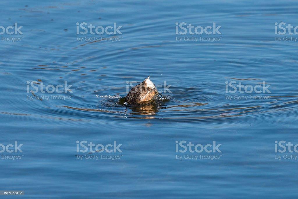 Little grebe (Tachybaptus ruficollis) in the water stock photo