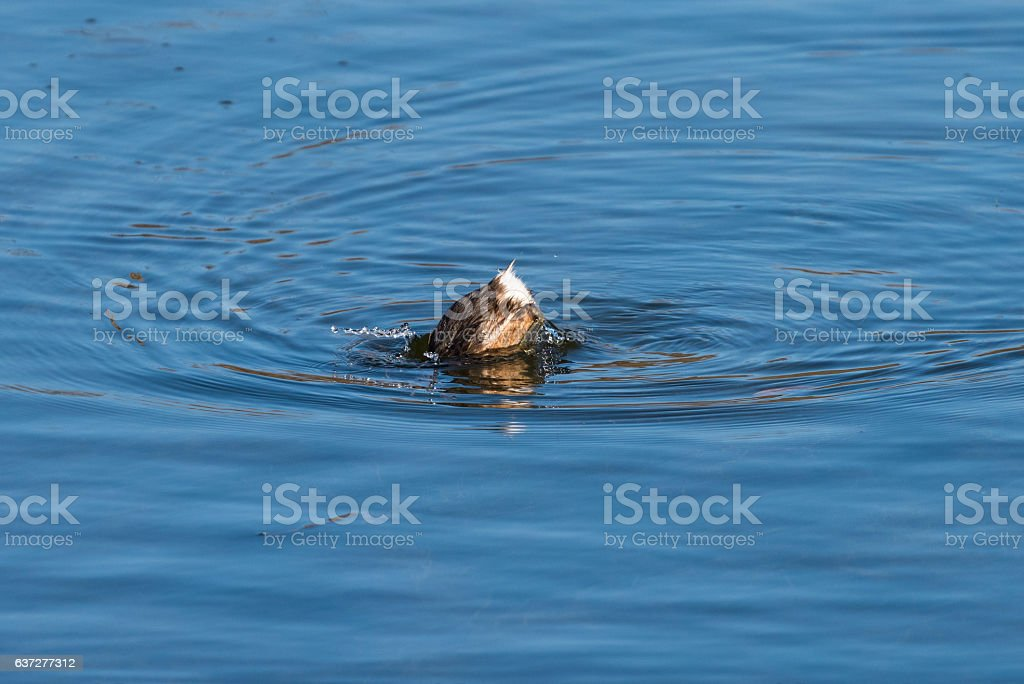 Little grebe (Tachybaptus ruficollis) in the water stock photo