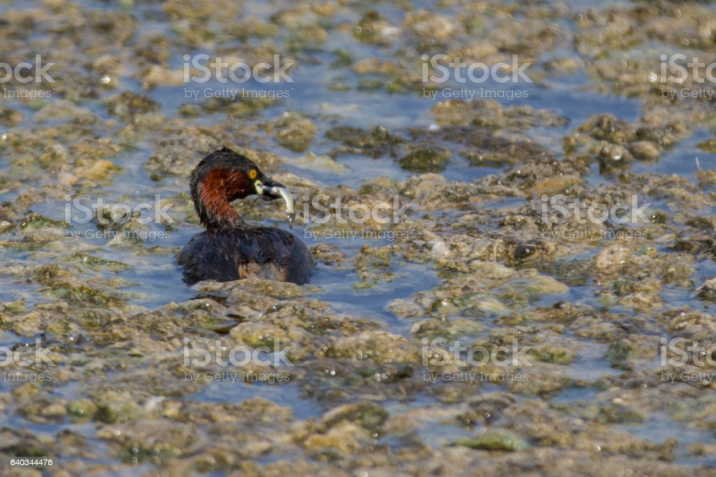Little Grebe stock photo