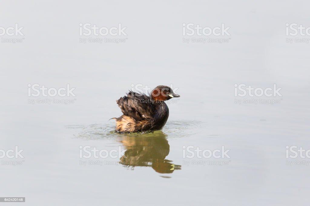 little grebe (Tachybaptus ruficollis) swimming, pluming and splashing stock photo
