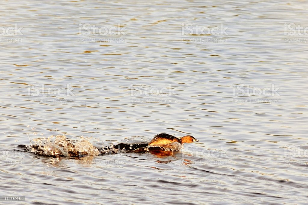 Little Grebe Taking Off In South Africa stock photo