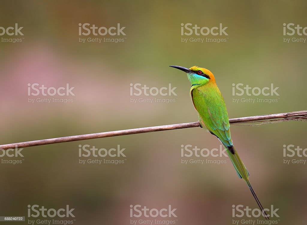 Little green bee eater (Merops orientalis) stock photo