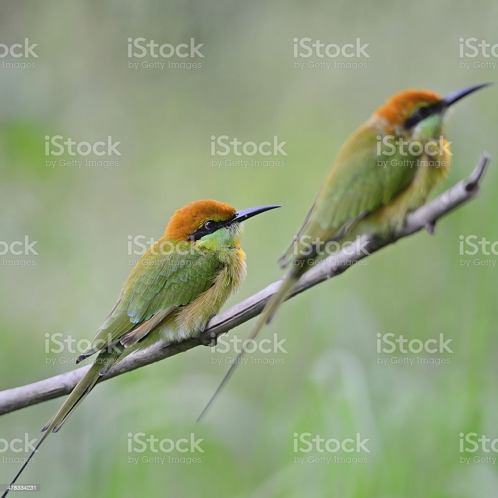 Little Green Bee-eater royalty-free stock photo