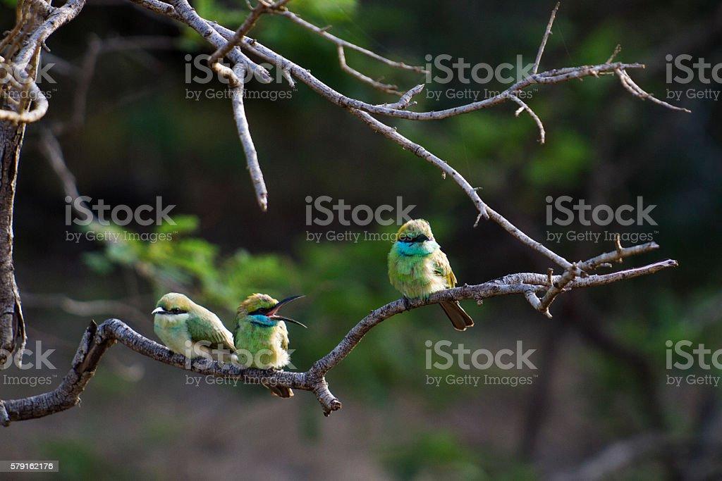 Little Green Bee-Eater stock photo
