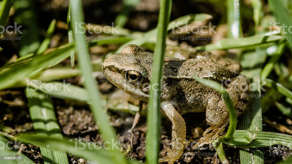 Little green frog on meadow land stock photo