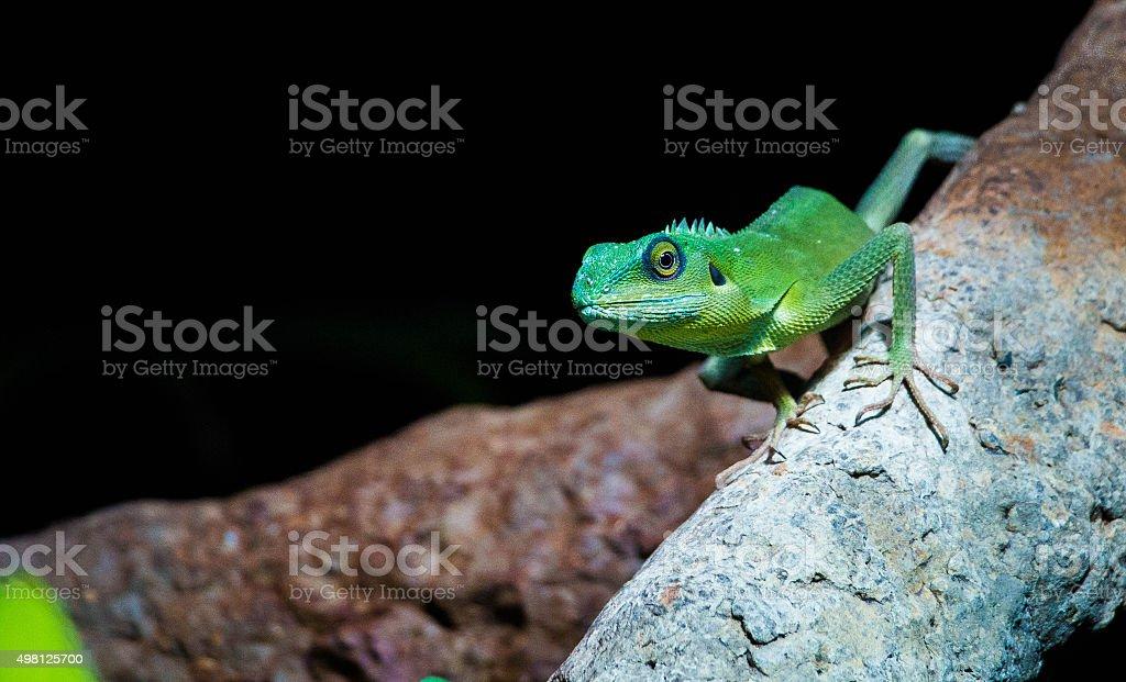 Little green lizard stock photo