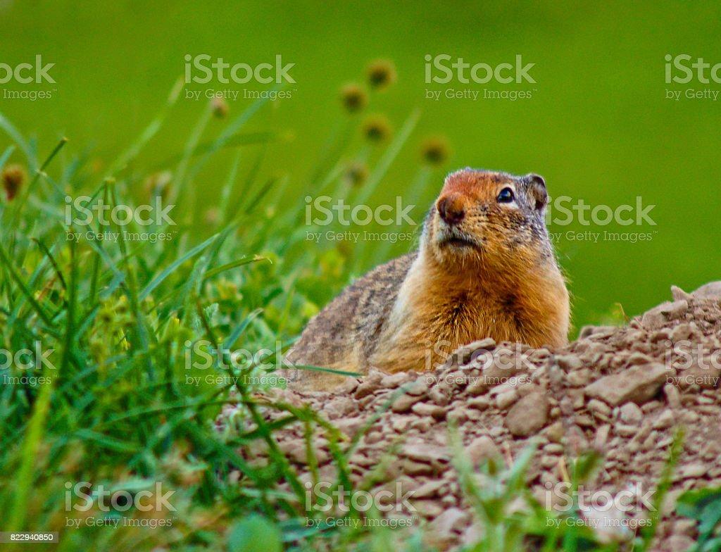 Little Ground Squirrel stock photo