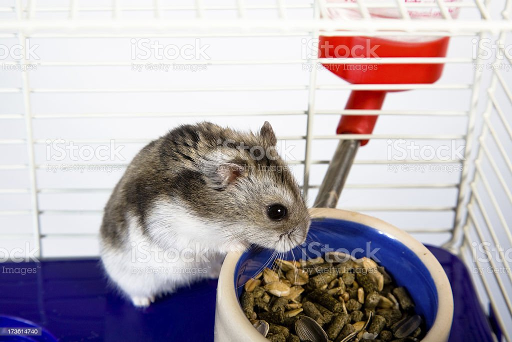 Little Hamster royalty-free stock photo