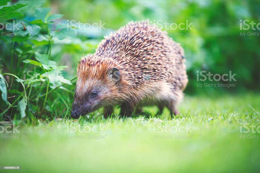 Little hedgehog in garden stock photo