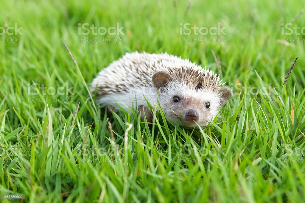 Little Hedgehog in the green grass stock photo