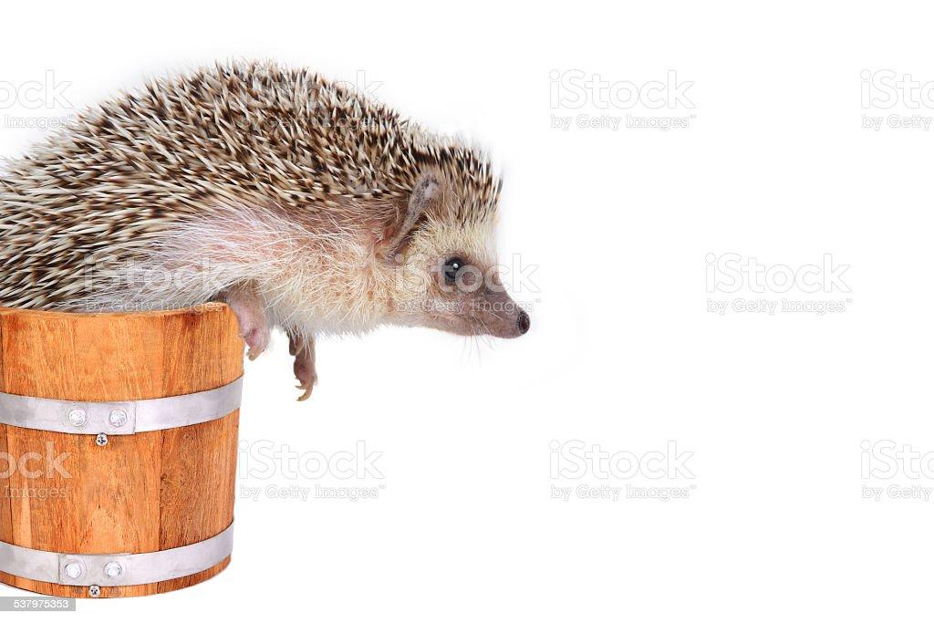 Little hedgehog in wooden bucket. stock photo