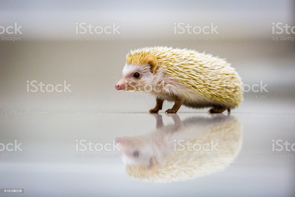 Little hedgehog mirror on the surface stock photo