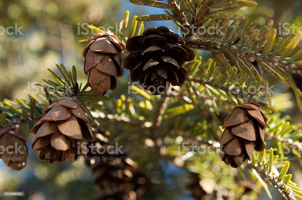 Little Hemlock Cones stock photo