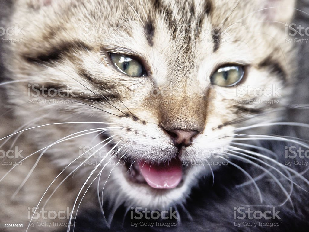 little hissing cat stock photo