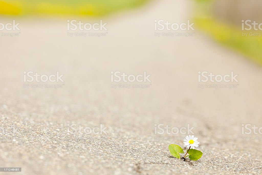 little humble daisy fighting own way trough the asphalt stock photo