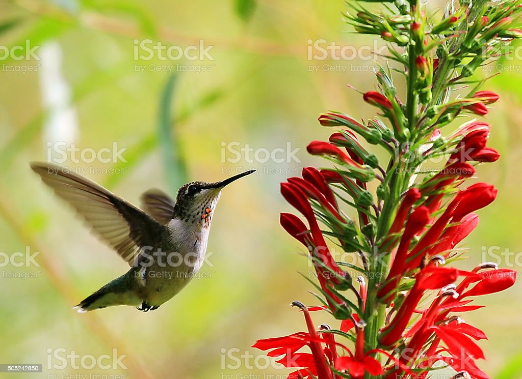 Little Hummer stock photo