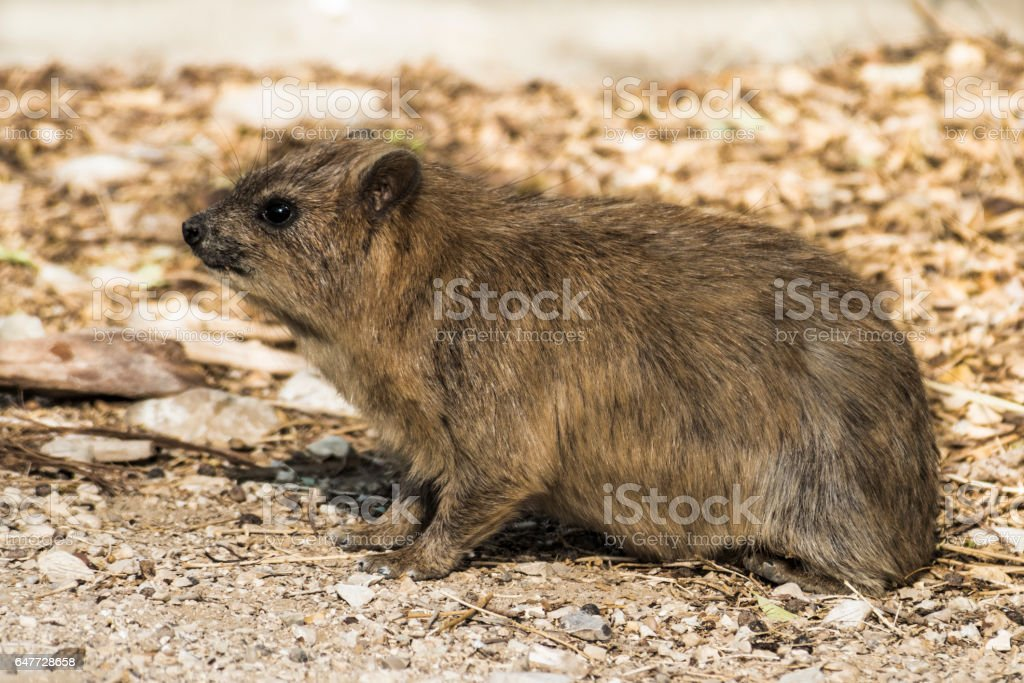 Little inhabitant of the Negev desert stock photo