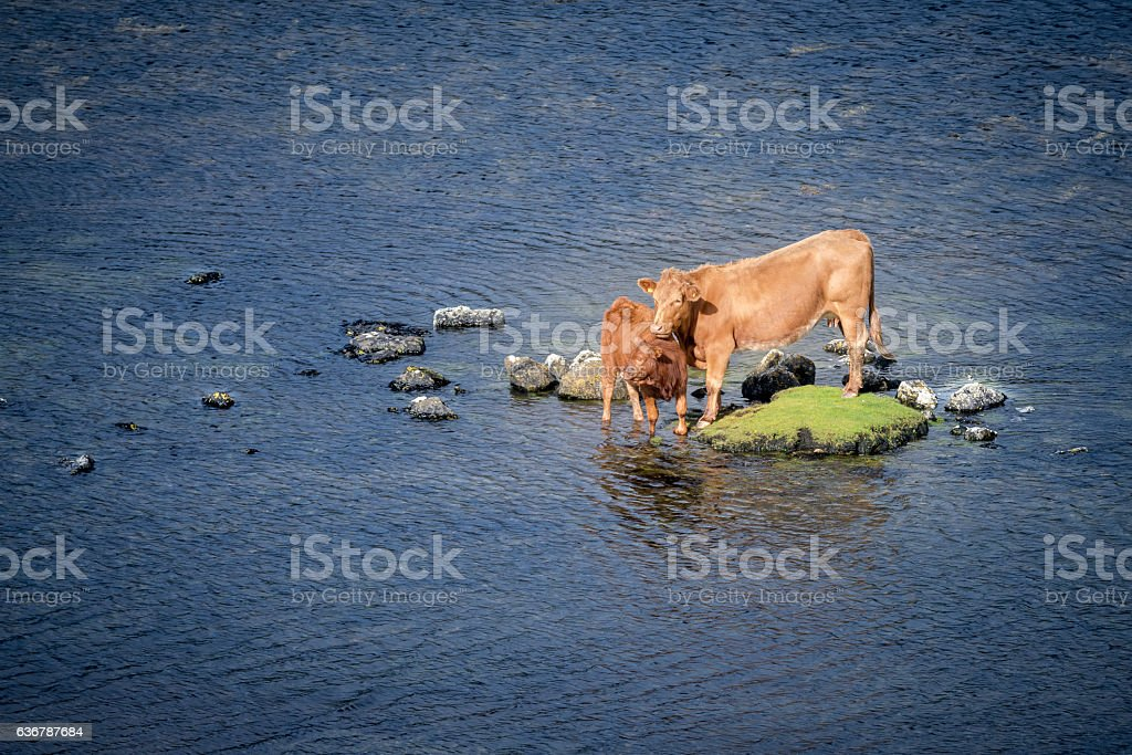 Little island with cows stock photo