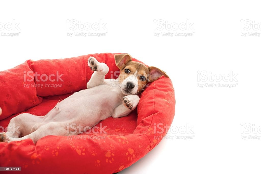 little jack russell royalty-free stock photo