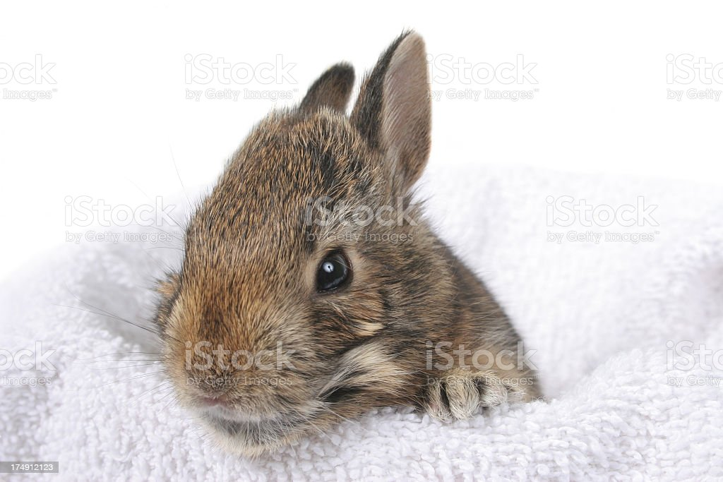 Little jackrabbit royalty-free stock photo