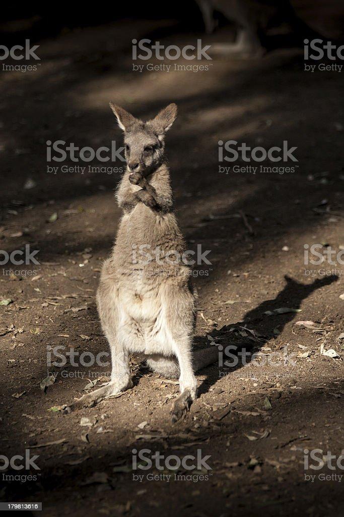 Little Kangaroo Australia native animal royalty-free stock photo