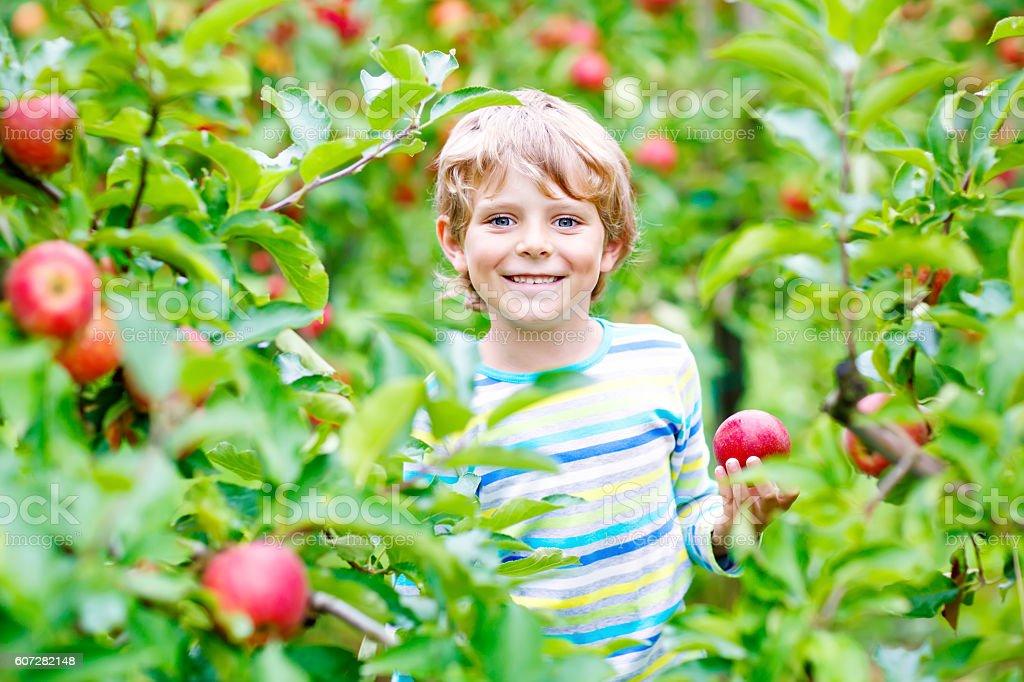 Little kid boy picking red apples on farm autumn stock photo