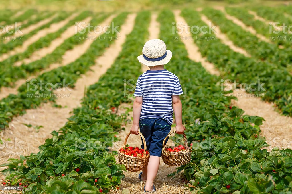 Little kid boy picking strawberries on farm, outdoors. stock photo