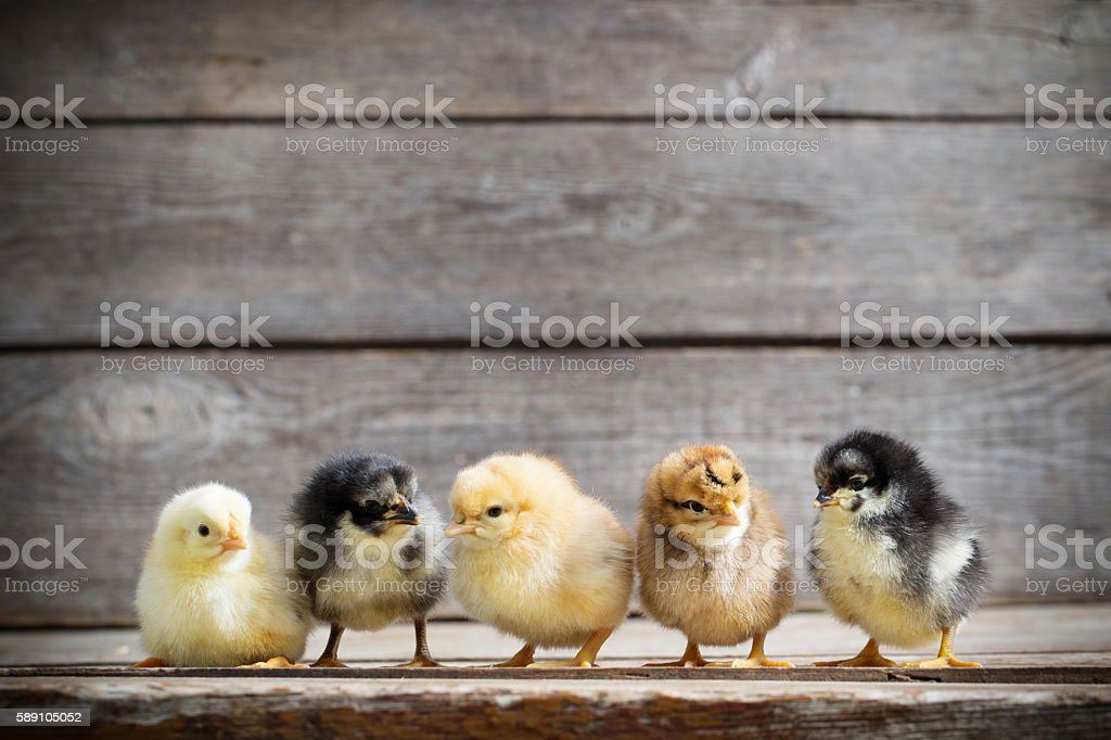 little kid chick standing on wooden background stock photo
