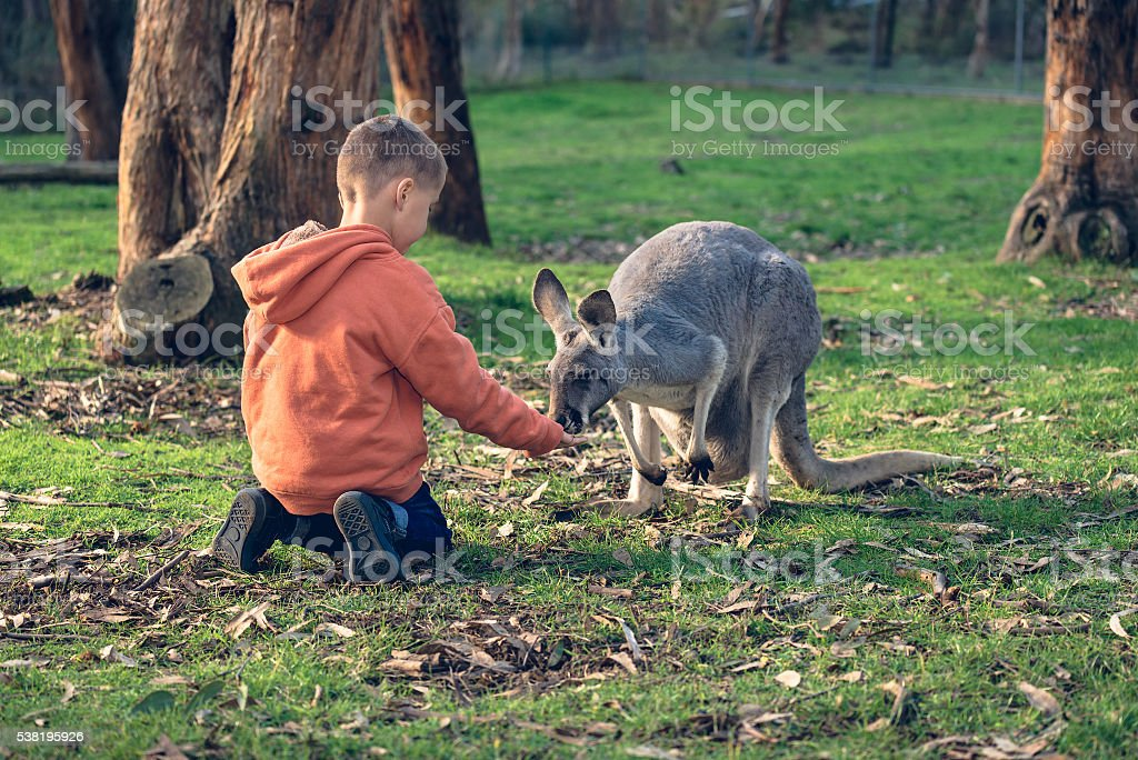 Little kid feeding an australian kangaroo stock photo