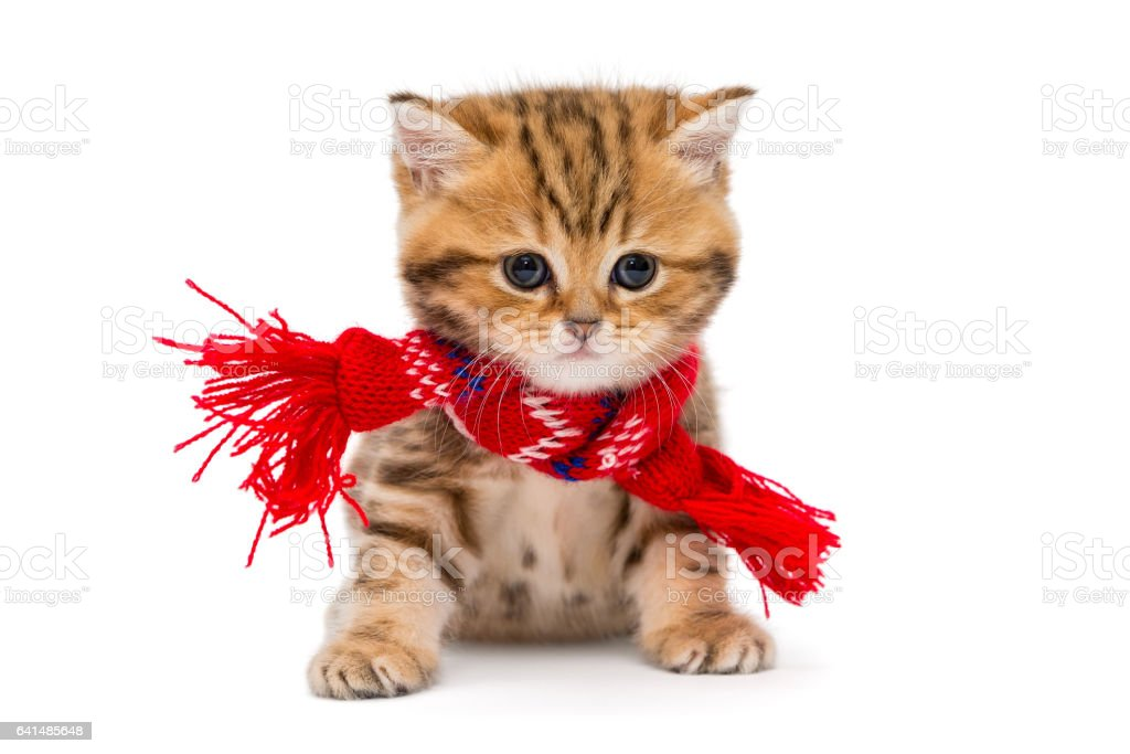 Little kitten British marble in a red scarf stock photo