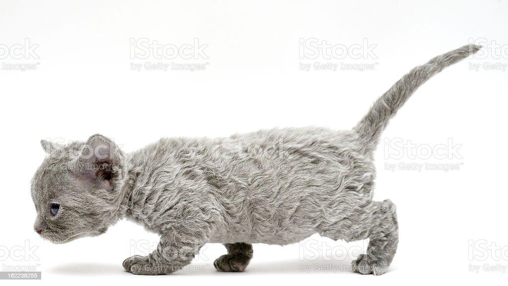 리틀 고양이 새끼 데번-rex royalty-free 스톡 사진