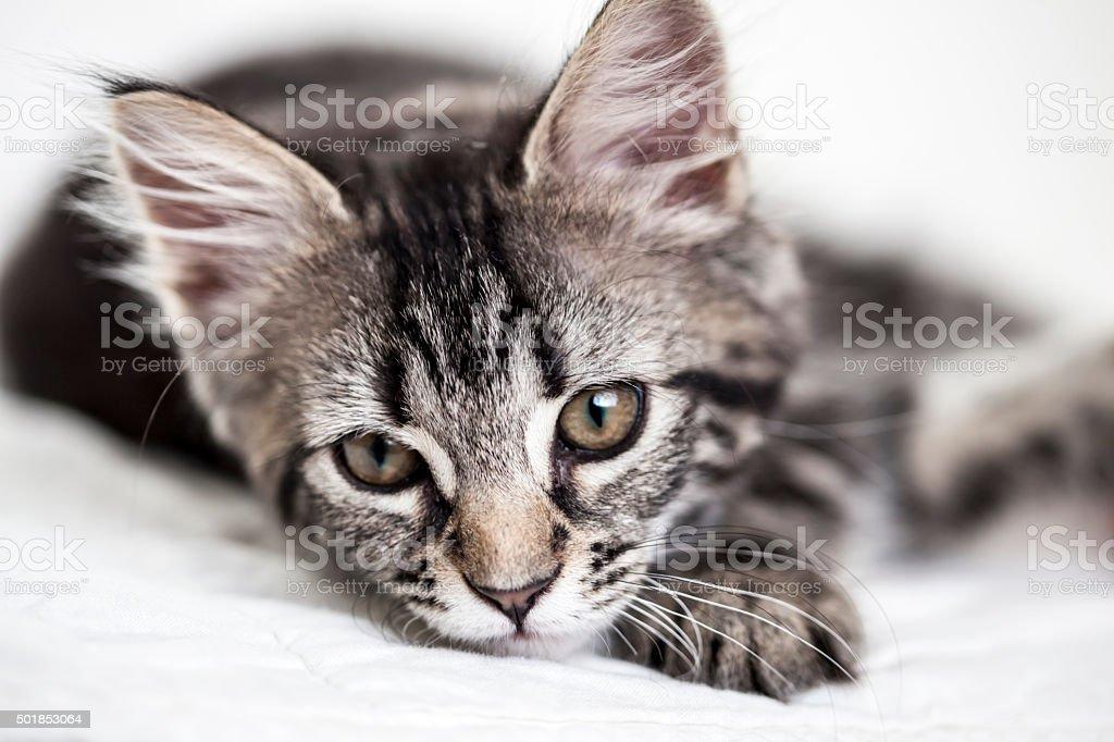 Little kitten lying on the blanket looking straight at camera stock photo