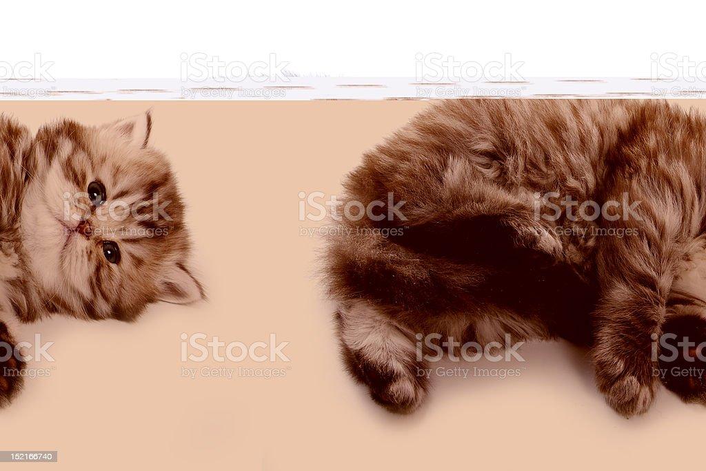 Little kitten on white background royalty-free stock photo