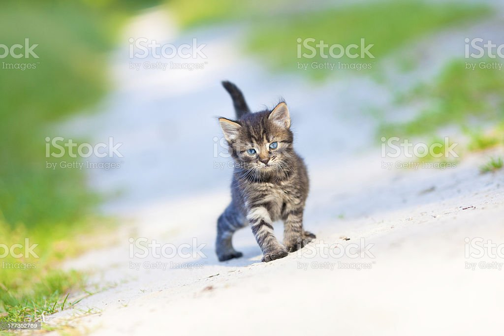 Little kitten staying on the sandy road royalty-free stock photo