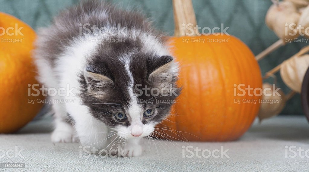 Little kitten with pumpkins royalty-free stock photo