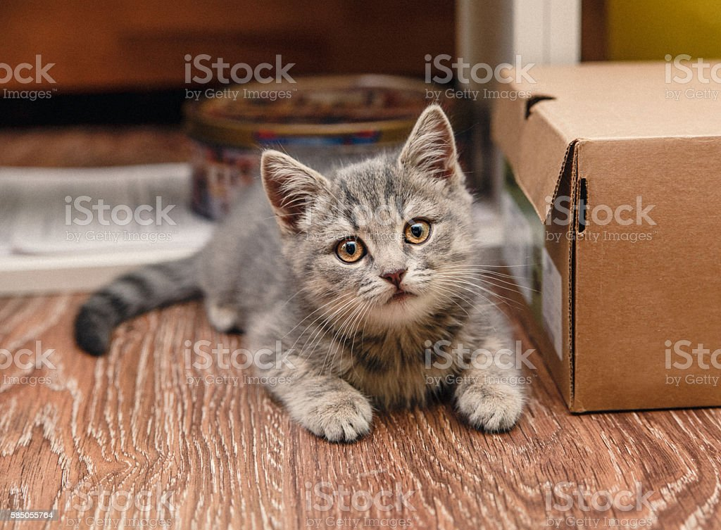 Little Kitten,Brown Box,Funny Look,Toned stock photo